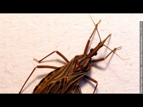 Video 'Kissing Bug' Infections Are Growing In Texas, Health Officials Say - Newsy