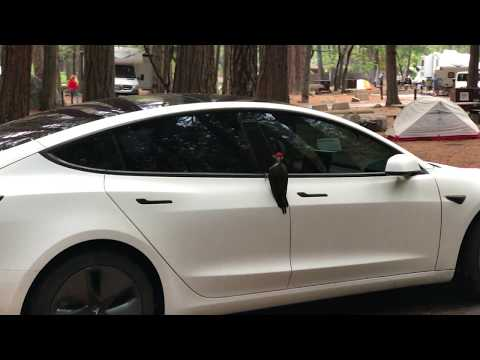 Woodpecker inspects Tesla Model 3