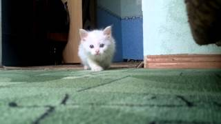 Котенок охотится. Ржака,умора, прикол.