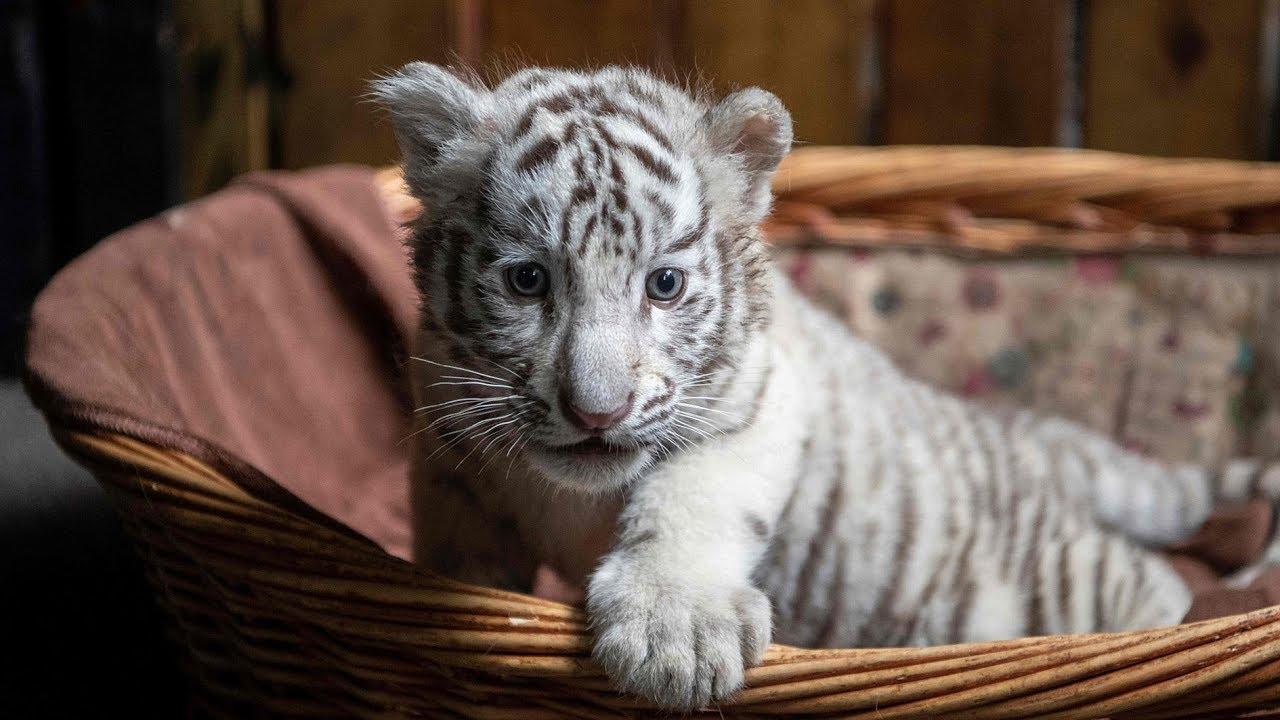 Белые тигрята в Юньнаньском зоопарке