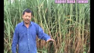 Kelebihan Rumput Napier Baka Taiwan