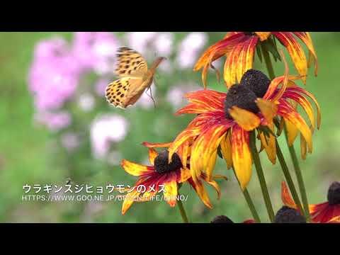 庭の絶滅危惧種、ウラギンスジヒョウモン Argynnis laodice
