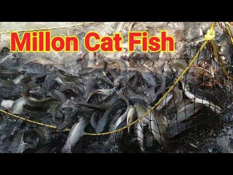 wow! 1000000 catfish feeding Dashi Magur fish | How to start