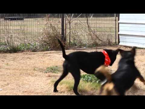 ROCCO, an adoptable Labrador Retriever & Terrier Mix in Liverpool, TX