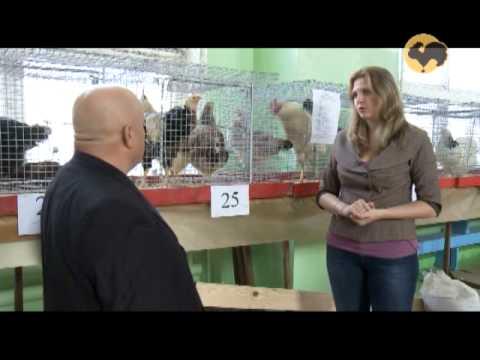 Выставка кур в Ливнах: Ливенская порода кур. ЖД-142