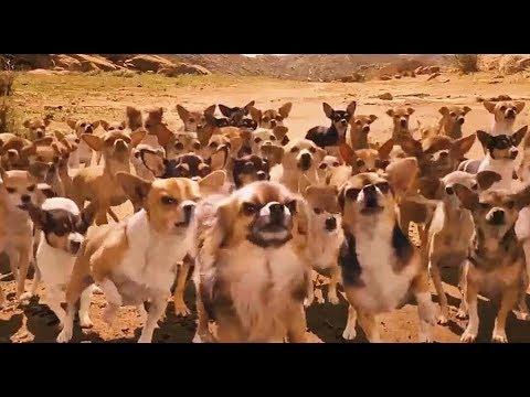 德国牧羊犬被几只美洲狮围攻,上百只吉娃娃狗赶来救援