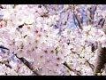 目黒川の桜 ~お花見スポット紹介~池袋から副都心線で約20分の中目黒駅