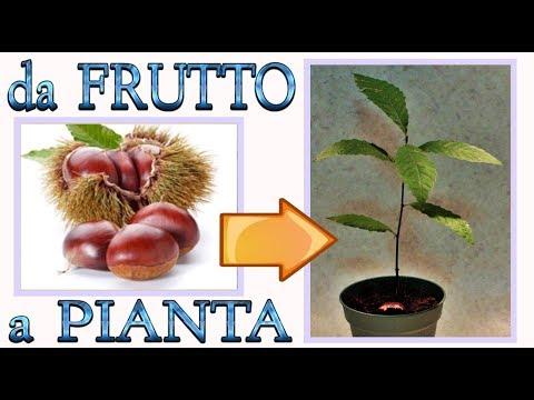 eccezionale metodo per fare nascere una pianta di castagno dal frutto, castagne, marroni,