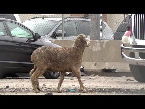 Ram On The Loose In McKinley Park