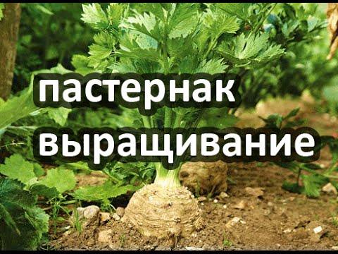 Пастернак - вырастить пастернак из семян