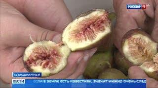 В Краснодарском крае фермеры начали сбор инжира