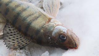 Ловля леща зимой на куйбышевском водохранилище