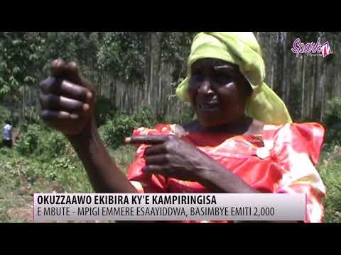 Okuzzaawo ekibira ky'e Kampiringisa E Mbute emmere bagisaaye, basimbye emiti 2,000