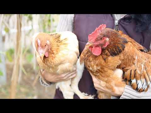 Как определить несет ли курица яйца.