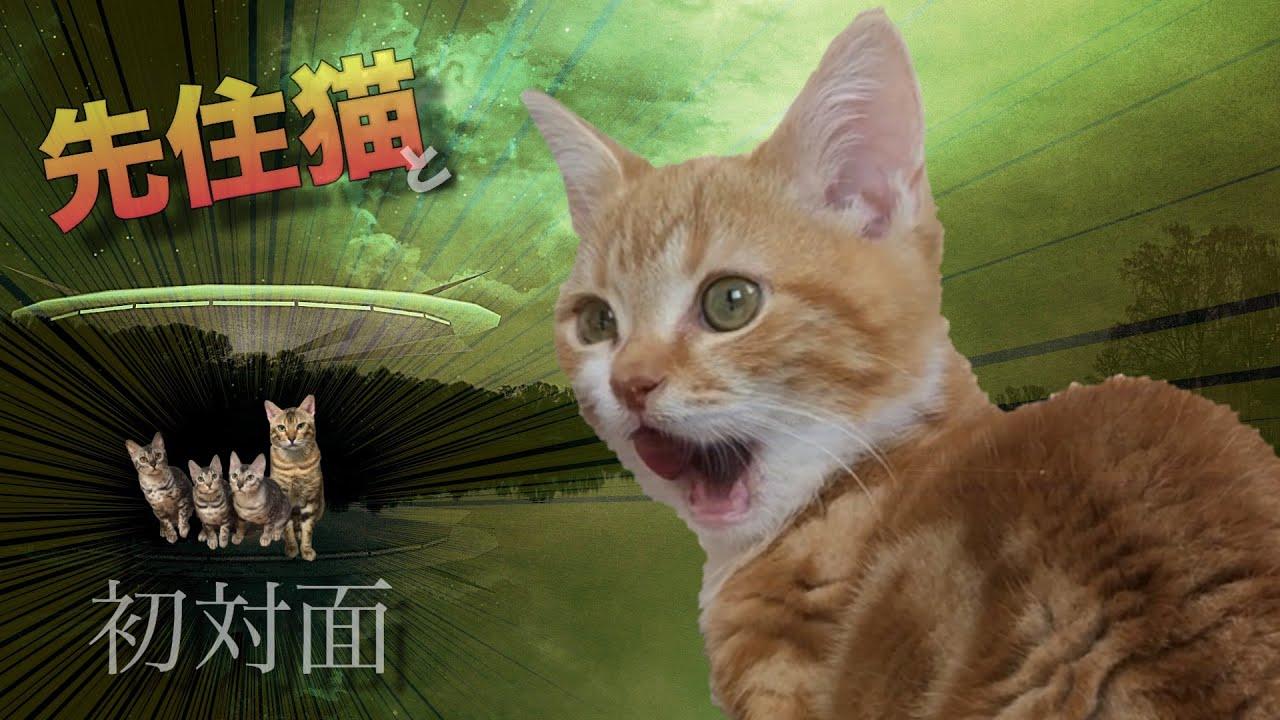 保護子猫と先住猫が初対面!イクメン猫の反応は? #猫 #cat #子猫 #保護猫 #保護 #先住 #初対面 #イクメン #反応