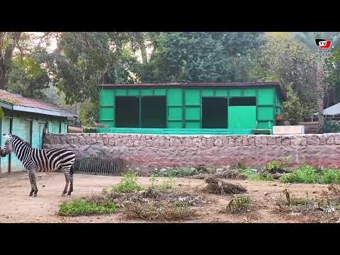 المشاهد الأولى من حديقة الحيوان بعد نفوق ذكر الزرافة