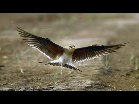 שדמיות אדומות כנף בעמק החולה