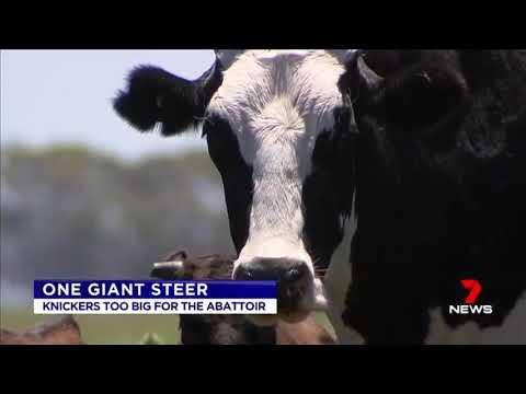 Valtavan kokoinen lehmä! – Video jättää sanattomaksi