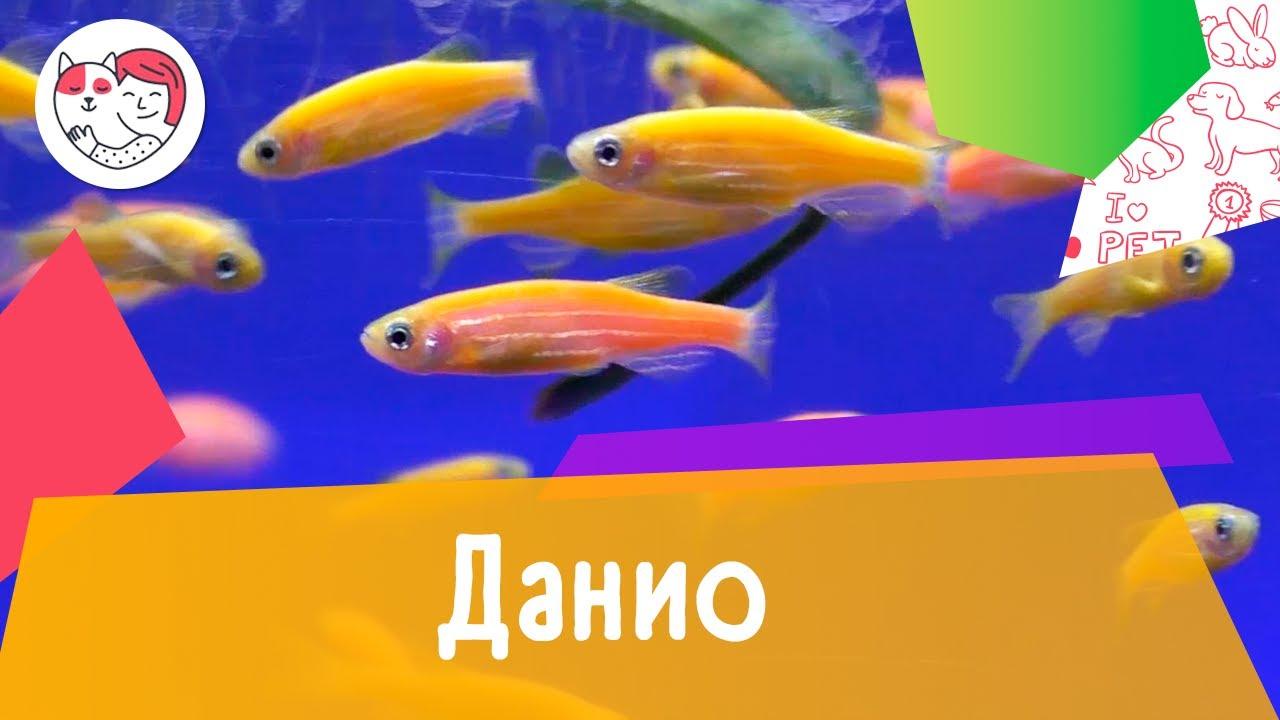 Аквариумная рыбка данио. Особенности. Уход.