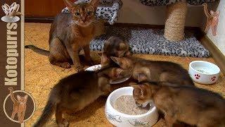 Маленькие абиссинские котята обедают со своей мамой [kotopurrs]
