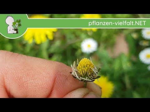 Gänseblümchen - Früchte/Samen - 15.04.18 (Bellis perennis) - Wildpflanzen-Bestimmung