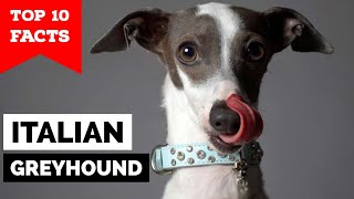 Italian Greyhound - Top 10 Facts