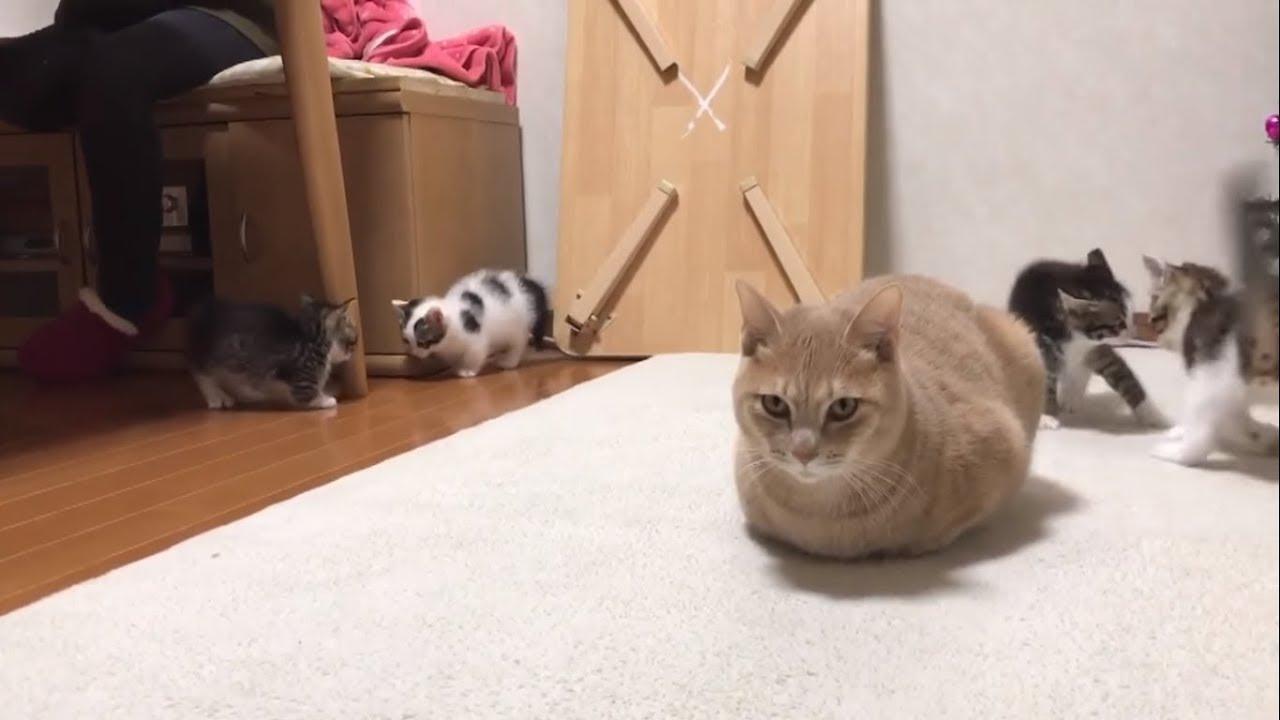 暴れる子猫に動じないひのきに癒される #猫 #cat #子猫 #ひのき