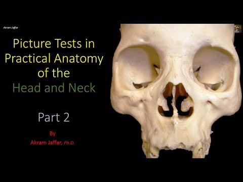 Anatomia głowy i szyi - ćwiczenia (część 2)