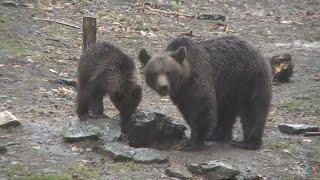 Pe urmele castorilor şi urşilor de pe Valea Strâmbei (@Exclusiv în România)