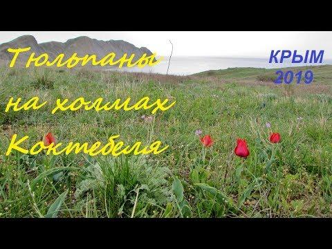 Дикие тюльпаны в Крыму, Коктебель 2019. Холмы, море, апрель