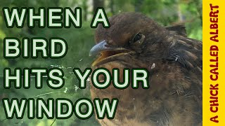 Bird in coma, Survives hitting my Window!