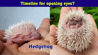 🦔 BABY HEDGEHOGS GROWING UP! Hedgehog pet from Birth to open Eyes 🦔