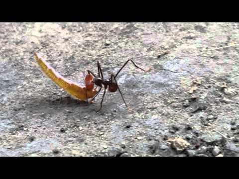 Registro de nueva hormiga arriera