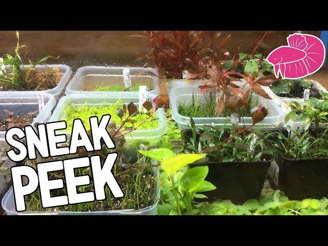 Sneak Peek! Betta Barracks Recirculating System, Breeding for Profit, and Emmersed Plant Tank