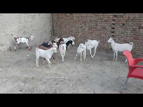 Teddy Goats for SALE in Rs  8000 at Lalukhet Bakra Mandi