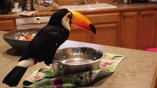 Why Toucans LOVE Water!!! (Cute & Messy!)