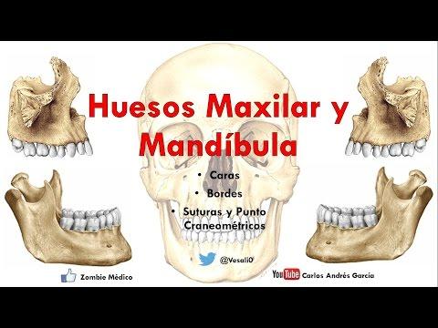 Anatomía - Huesos Maxilar y Mandibula (Caras, Bordes, Inserciones Musculares)