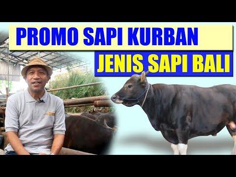 PROMO SUPER MURAH, JUAL SAPI QURBAN UNTUK WILAYAH JAKARTA