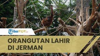 Orangutan Sumatera Bernama Batu dan Berani Lahir di Taman Margasatwa Hagenbeck Jerman