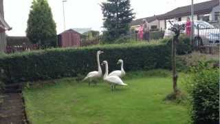 There's Fucking Swans In My Garden
