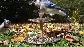 Blue Jay Buffet - 10 Hour Video for Pets - Nov 8, 2020