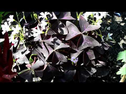 Кислица фиолетовая цветок домашний. Видео цветения комнатной кислицы в саду