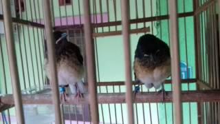 Suara Burung Murai Batu Anakan Sangat Merdu