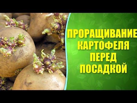 , title : '🌱 Проращивание картофеля перед посадкой. Как правильно проращивать картофель перед посадкой.