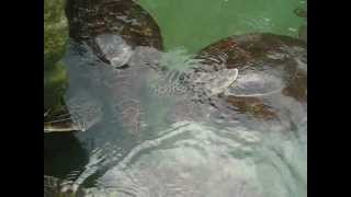 preview picture of video 'Zanzibar,Green turtles in Nungwi.'