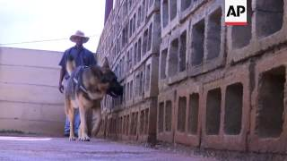 Dogs trained from puppies for sniffing out explosives and drugs