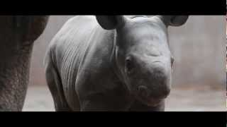 preview picture of video 'Baby rhino born at Chester Zoo'