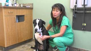 How to induce vomiting in your dog | Dr Justine Lee