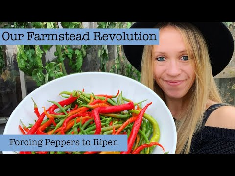 , title : 'Our Farmstead Revolution: Ripening Your Harvested Pepper Plants With Fruit