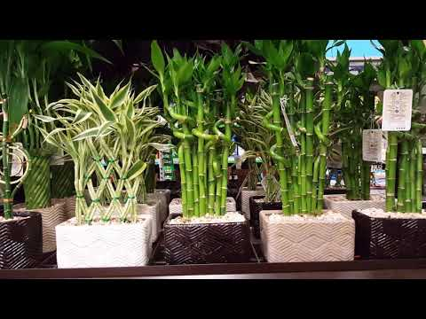 Lucky Bamboo Plant in Pune, लकी बैम्बू प्लांट